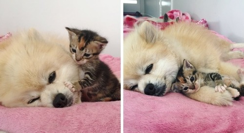 Kitten Meets Family Dog and Insists on Cuddling Her Everywhere She Goes