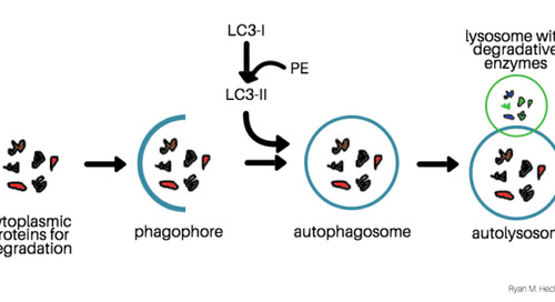 The Correct Way To Quantify Cellular Autophagy