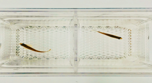 Couples Counselling for Zebrafish: How to Optimize Breeding Efficiency