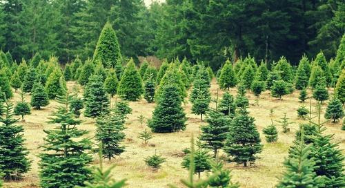 Seeking the Perfect Christmas Tree