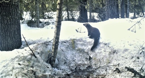 Fisher photographed through wildlife monitoring project