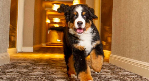 This Hotel In Aspen Has a Resident Bernese Mountain Dog That Will Cuddle With You
