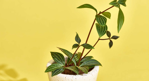 Peperomia Is One of the Easiest-to-Grow Plants Out There