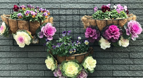 How to Grow and Care for Ornamental Kale and Cabbage
