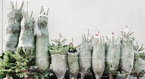 4 Places to Buy Live Christmas Trees Online