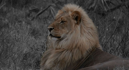 All About Kalahari Lions