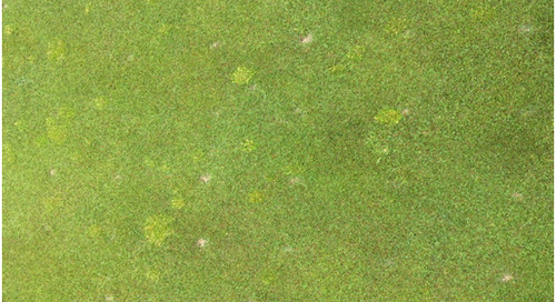 Poa on the Greens