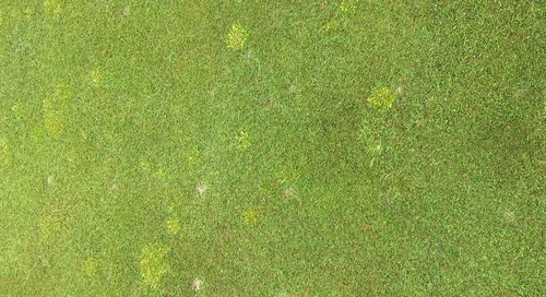 Poa Decline on Our Greens