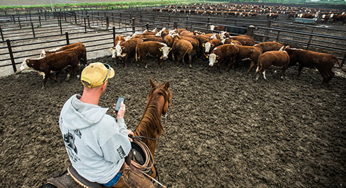 Quantified Ag Utilizes Advanced LTE to Manage Cattle Health Data