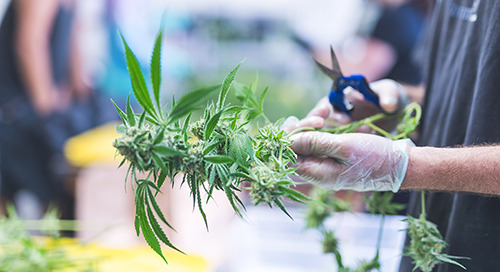 10 health & safety takeaways from the cannabis industry