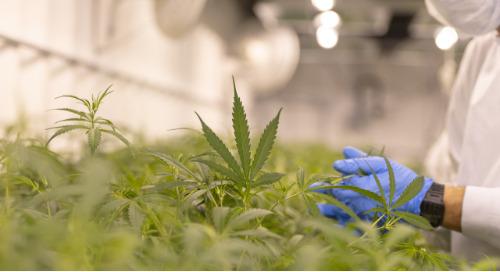 Légalisation du cannabis et risques : Leçons tirées du Canada