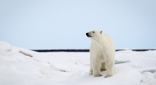 Close Encounters in the Kingdom of the Ice Bear
