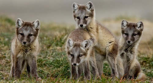 What Animals Live in the Arctic? 5 Arctic Wildlife You May Spot in Nunavut
