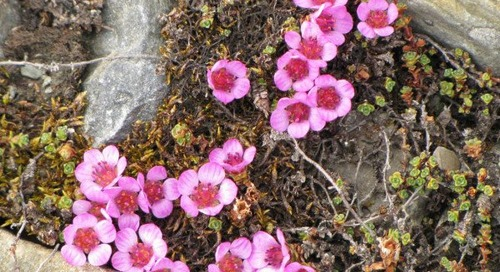 Arctic flowers: the beautiful Purple Saxifrage