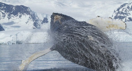 Wow moment: Quark passengers encounter humpback whales