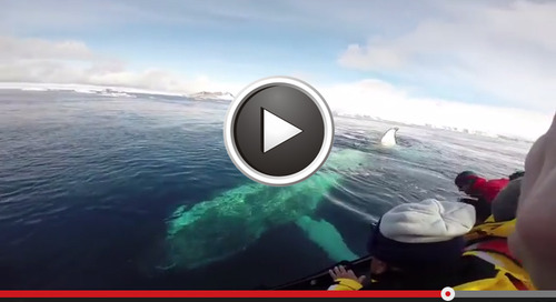 Humpback whales bump into zodiac: rare moment captured on video