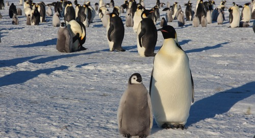 How Our March to Snow Hill's Emperor Penguins Could Help Solve Their Genetic Mystery