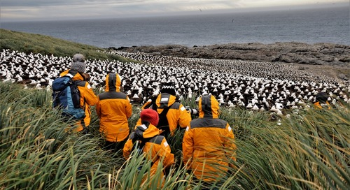 Our Ocean Adventurer Visits the World's Largest Black Browed Albatross Colony at Steeple Jason