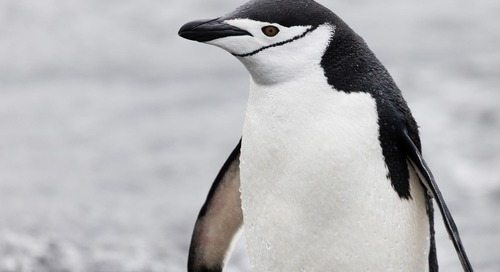 Antarctic curiosity: How do penguins get their names