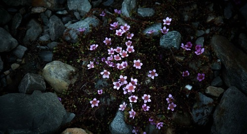 Our 5 Prettiest Arctic Flowers