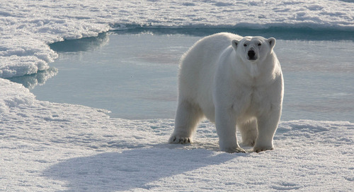 How to see Polar Bears in Svalbard