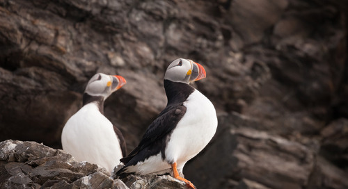 Where to see Puffins in the Faroe Islands