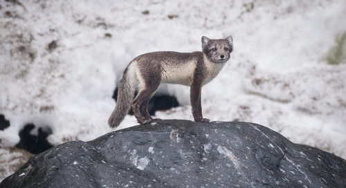 Where to See an Arctic Fox in Iceland