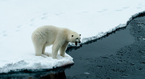 Arctic Polar Bears: Why They Don't Appear in Antarctica