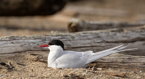 Arctic Tern Facts: World's Longest Migratory Route and more!