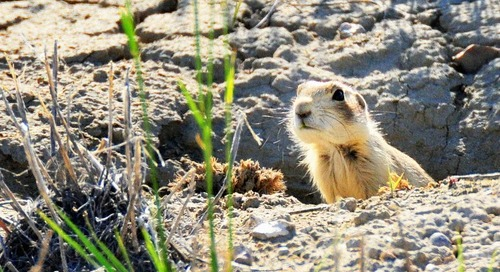 These prairie dogs are snacking via drone deliveries