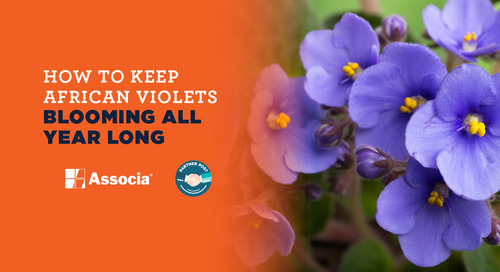 Partner Post: How to Keep African Violets Blooming All Year Long
