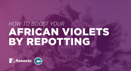 How to Boost Your African Violets by Repotting