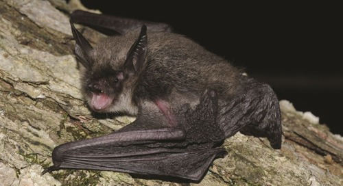 A new threatened species: How a tiny bat could have a big impact on your project