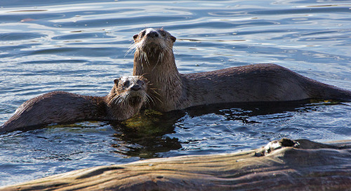 Demographic and reproductive characteristics of New Brunswick river otter populations