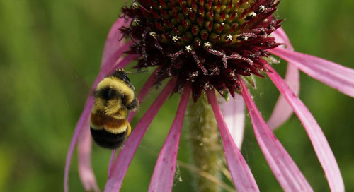How the plight of the rusty patched bumble bee impacts projects and permits