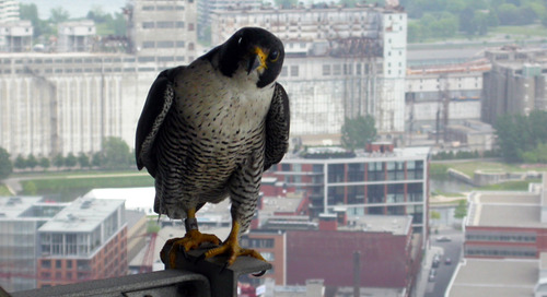 Canada's peregrine falcon recovery: An inspirational return from devastation
