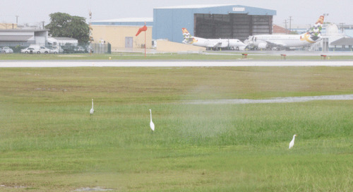Published in the Cayman Compass: Airport ponds too inviting for birds