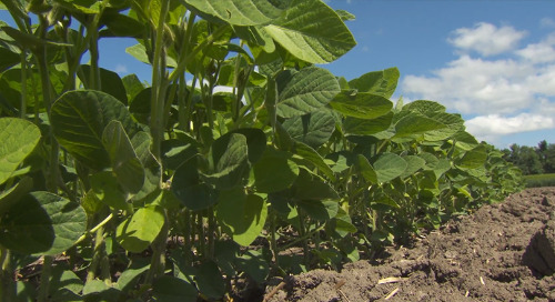 Where Do Soybeans Fit in Your Crop Rotation?
