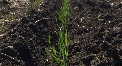 Crop Establishment Is Key to Making Malt