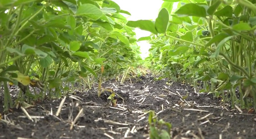What Can You Do When Your Crop Gets Hailed?