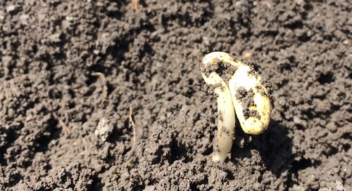 Fertility Management in Soybeans