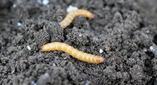 Watch for Signs of Wireworms at Harvest