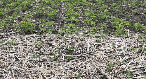 Manage Crop Residue for Strong Soybean Emergence