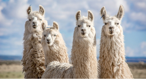 Llamas, Alpacas And Emus, Oh My: How Advertising Went Whimsical