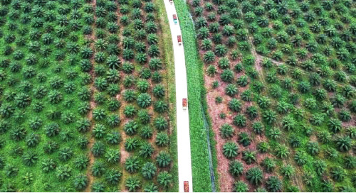 Slow replanting of palm a blow to Indonesia's efforts onenvironment