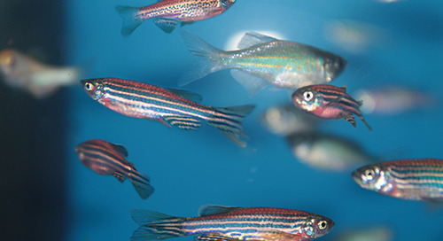 What can tiny fish teach us about cancer research?