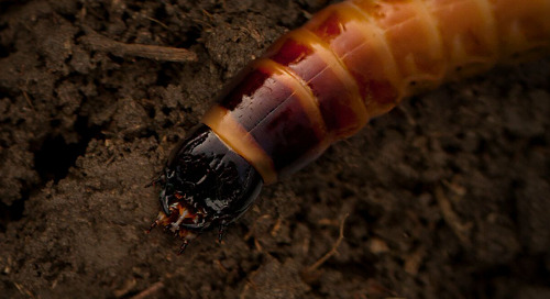 Study Confirms Wireworm Making Comeback