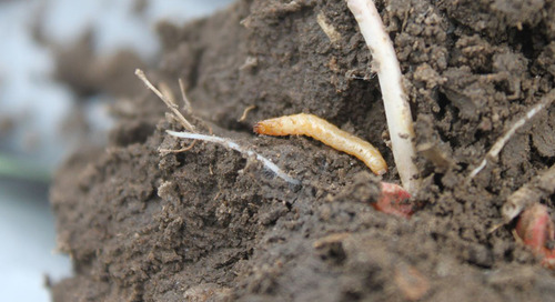 Keep an Eye Out for Wireworms