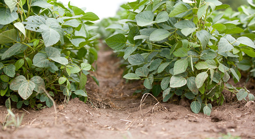 Managing Herbicide Resistance on Sandy Soils