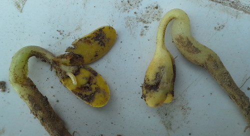 Crop Residue Invites Seedcorn Maggot